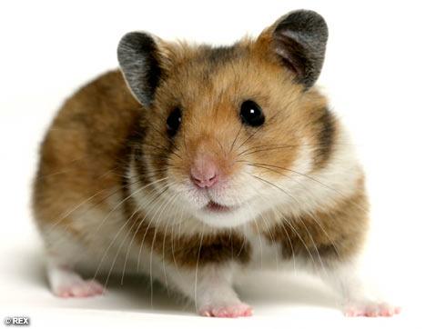 HamsterREX_468x362